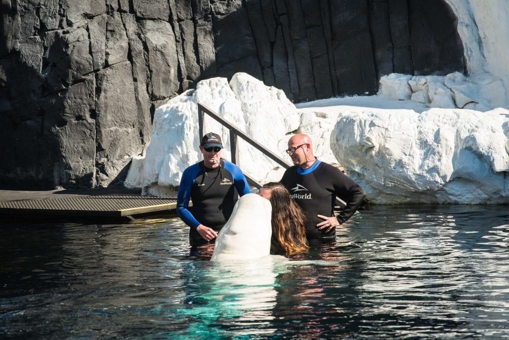 Beluga whale kisses at SeaWorld San Diego beluga interaction program
