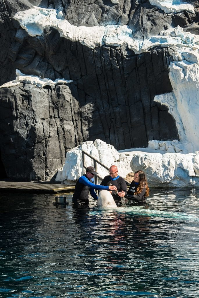 Sea World beluga interaction program review
