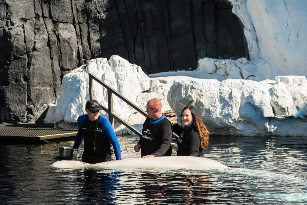 SeaWorld San Diego Beluga Whale Interaction Program