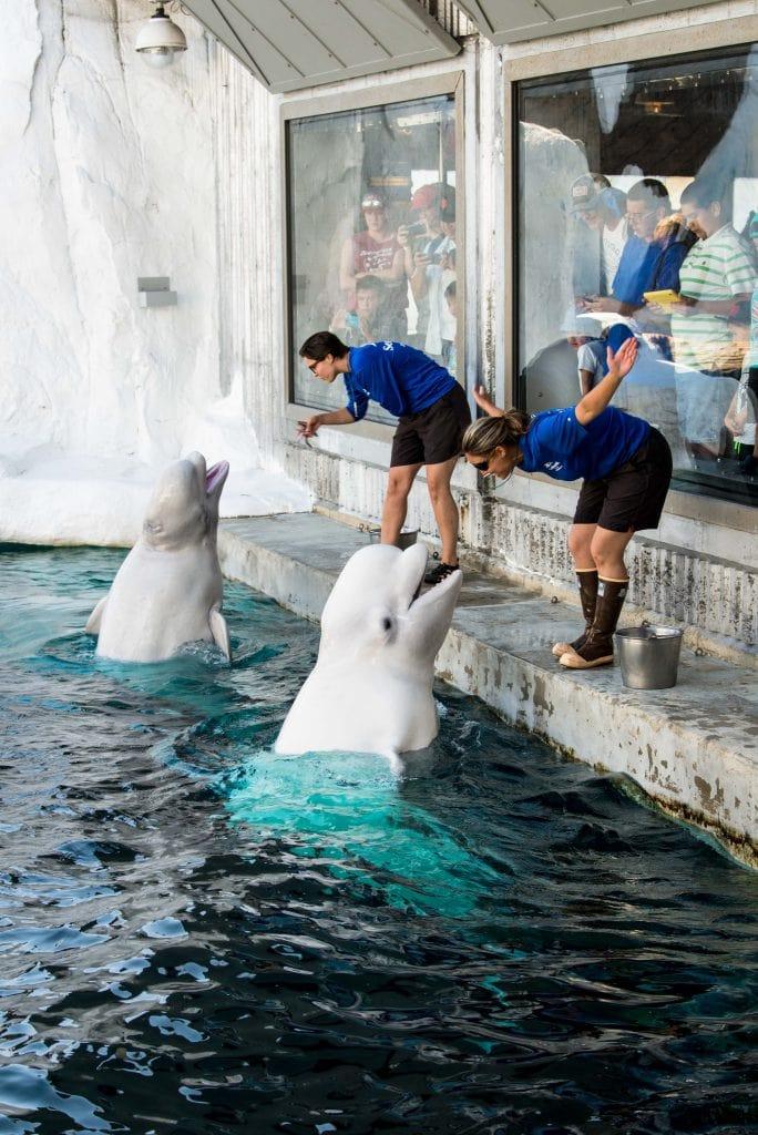 SeaWorld beluga whale interaction program
