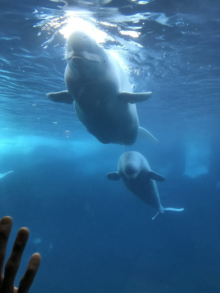 Beluga whalte at SeaWorld San Diego with kids